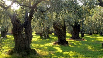 Olive_trees_on_Thassos